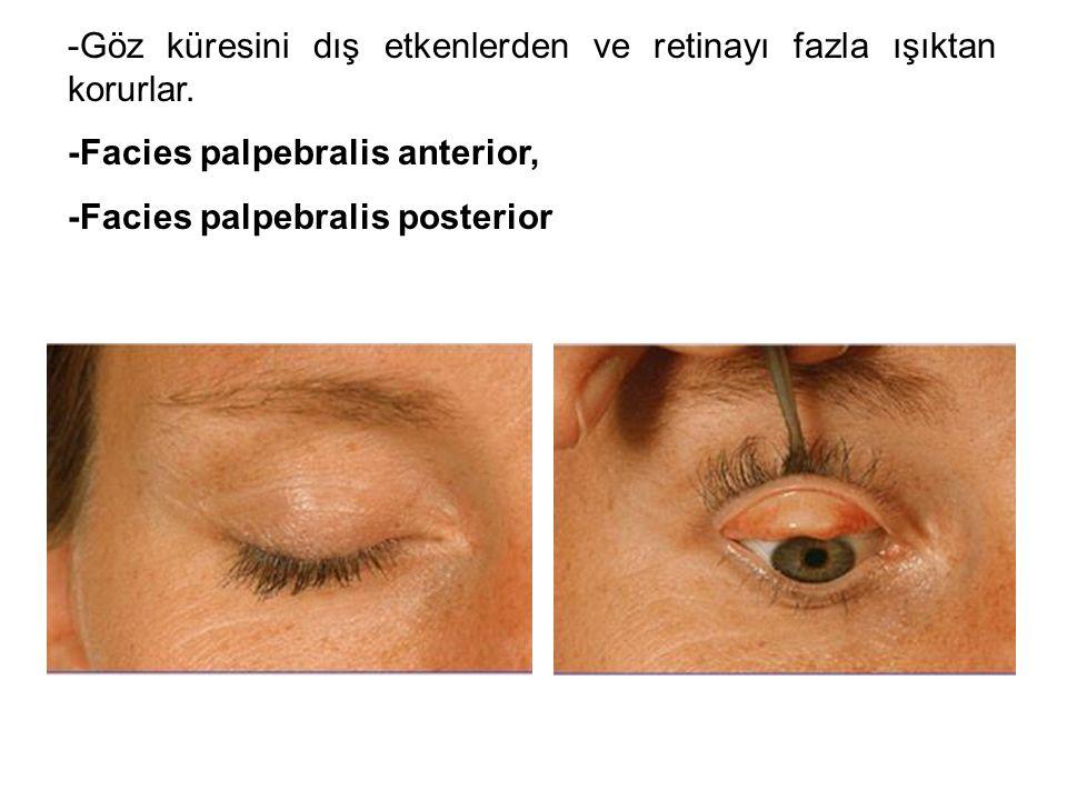 -Göz küresini dış etkenlerden ve retinayı fazla ışıktan korurlar. -Facies palpebralis anterior, -Facies palpebralis posterior