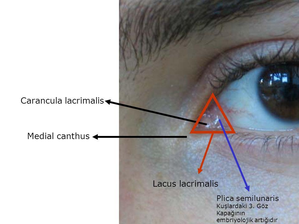 Medial canthus Carancula lacrimalis Lacus lacrimalis Plica semilunaris Kuşlardaki 3. Göz Kapağının embriyolojik artığıdır