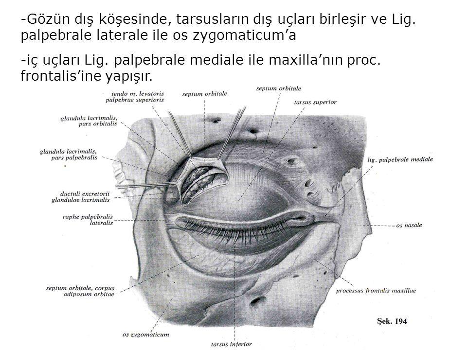 -Gözün dış köşesinde, tarsusların dış uçları birleşir ve Lig. palpebrale laterale ile os zygomaticum'a -iç uçları Lig. palpebrale mediale ile maxilla'