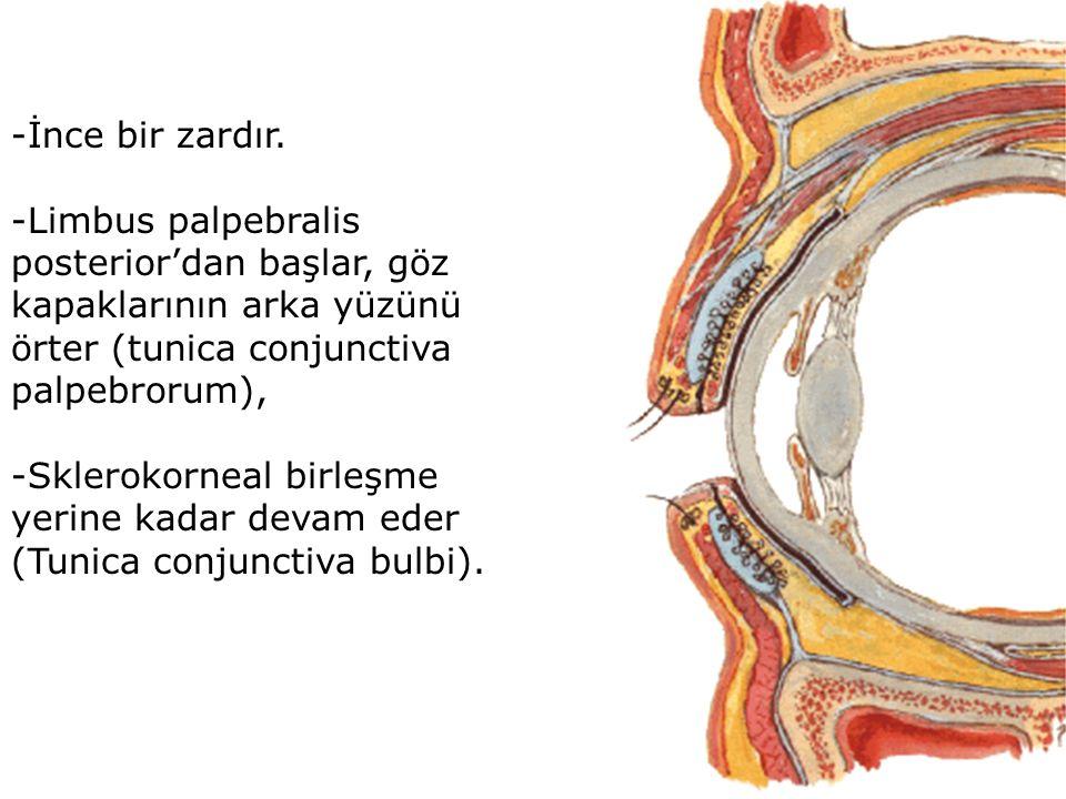 -İnce bir zardır. -Limbus palpebralis posterior'dan başlar, göz kapaklarının arka yüzünü örter (tunica conjunctiva palpebrorum), -Sklerokorneal birleş