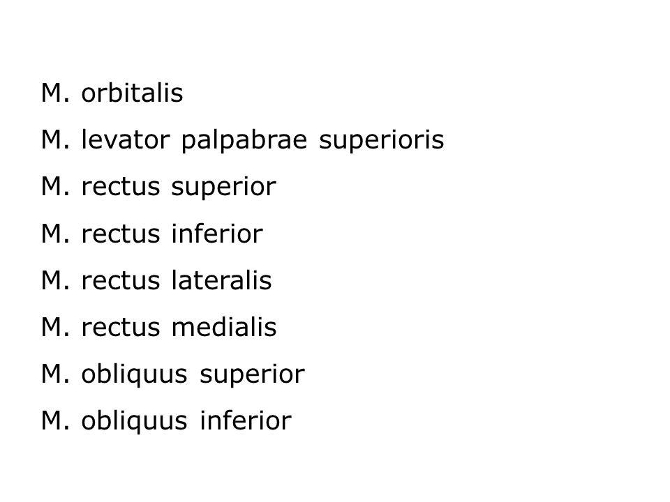 M. orbitalis M. levator palpabrae superioris M. rectus superior M. rectus inferior M. rectus lateralis M. rectus medialis M. obliquus superior M. obli