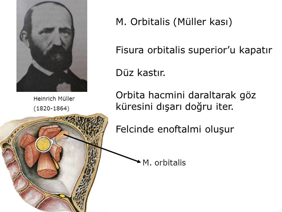 M. Orbitalis (Müller kası) Fisura orbitalis superior'u kapatır Düz kastır. Orbita hacmini daraltarak göz küresini dışarı doğru iter. Felcinde enoftalm