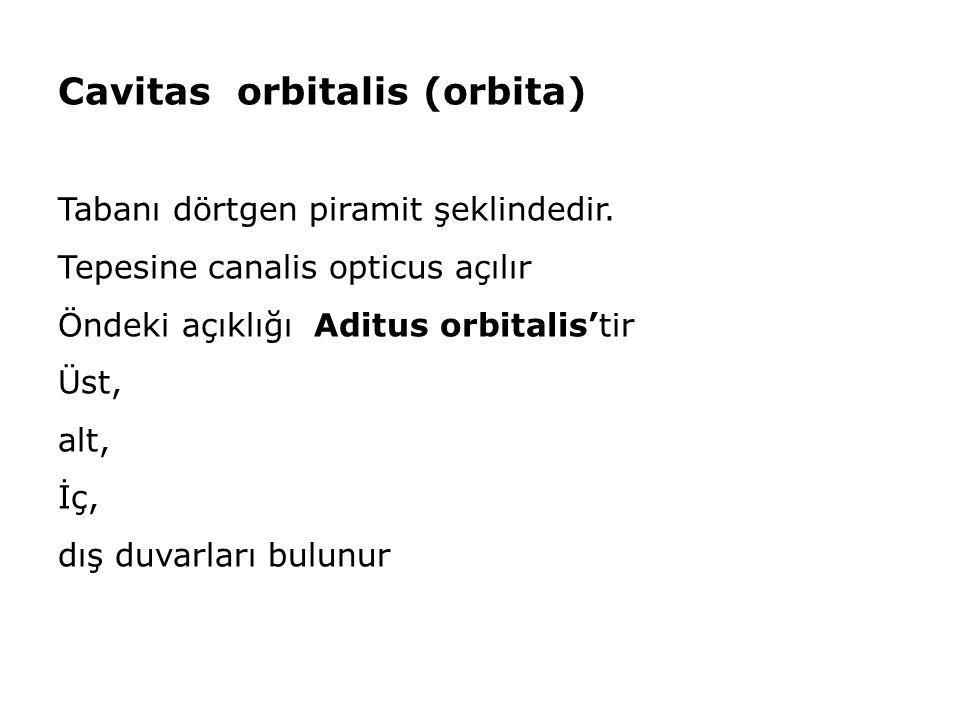 Cavitas orbitalis (orbita) Tabanı dörtgen piramit şeklindedir. Tepesine canalis opticus açılır Öndeki açıklığı Aditus orbitalis'tir Üst, alt, İç, dış