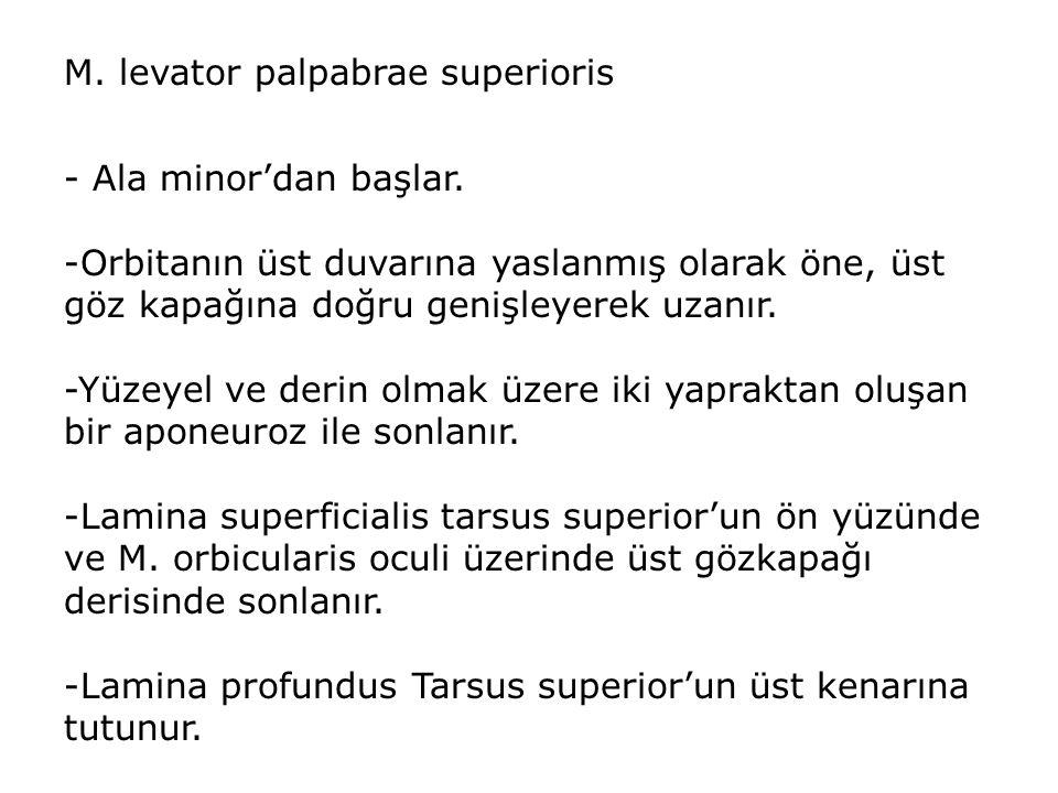 M.levator palpabrae superioris - Ala minor'dan başlar.
