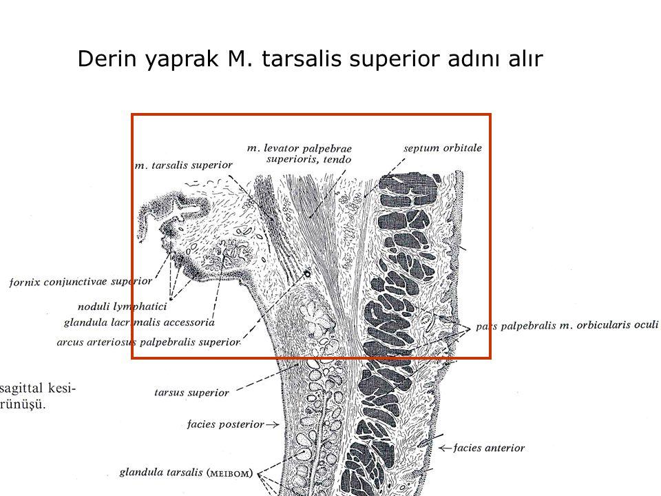 Derin yaprak M. tarsalis superior adını alır