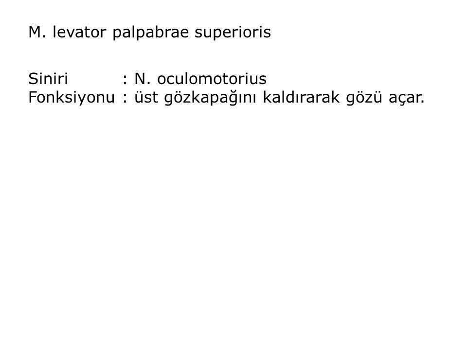 M. levator palpabrae superioris Siniri: N. oculomotorius Fonksiyonu: üst gözkapağını kaldırarak gözü açar.