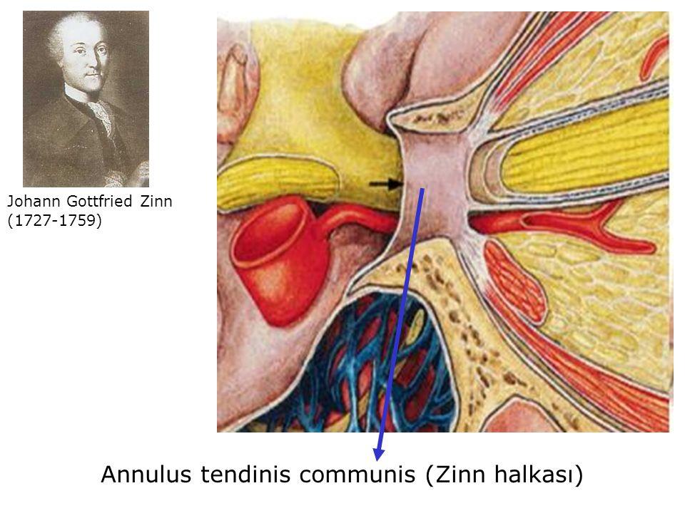 Johann Gottfried Zinn (1727-1759) Annulus tendinis communis (Zinn halkası)