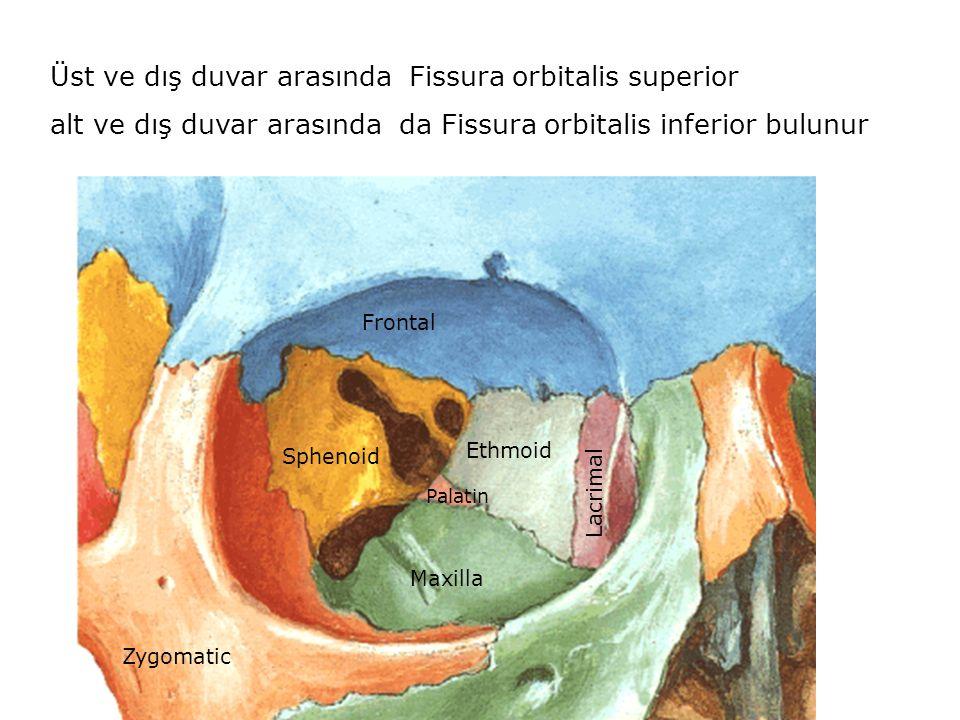 Zygomatic Sphenoid Ethmoid Frontal Lacrimal Maxilla Palatin Üst ve dış duvar arasında Fissura orbitalis superior alt ve dış duvar arasında da Fissura