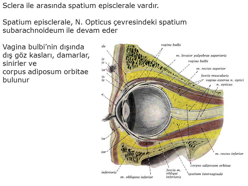 Sclera ile arasında spatium episclerale vardır. Spatium episclerale, N. Opticus çevresindeki spatium subarachnoideum ile devam eder Vagina bulbi'nin d