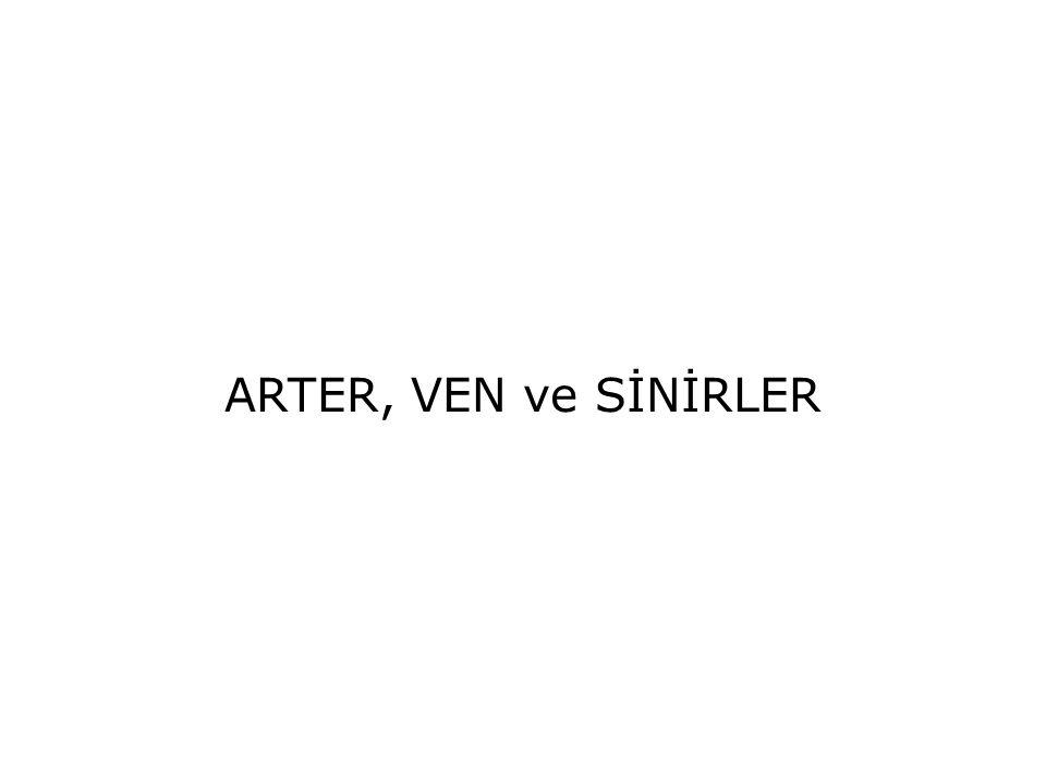 ARTER, VEN ve SİNİRLER