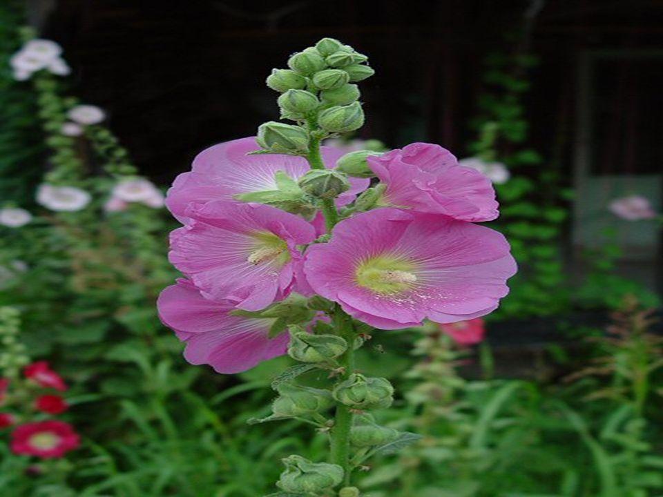 Althea rosa ( Gül Hatmi)