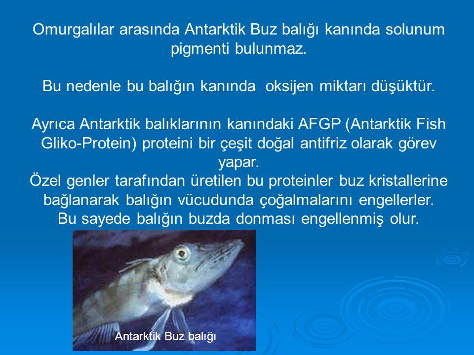 Omurgalılar arasında Antarktik Buz balığı kanında solunum pigmenti bulunmaz.