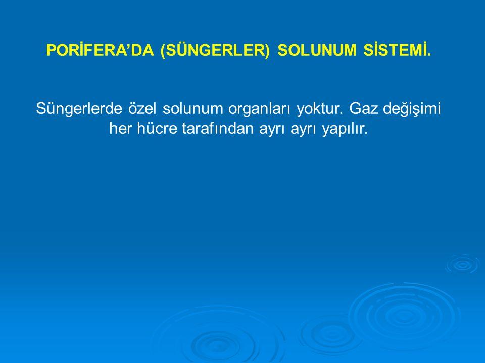 PORİFERA'DA (SÜNGERLER) SOLUNUM SİSTEMİ. Süngerlerde özel solunum organları yoktur. Gaz değişimi her hücre tarafından ayrı ayrı yapılır.
