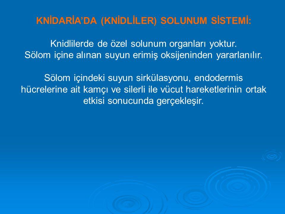 KNİDARİA'DA (KNİDLİLER) SOLUNUM SİSTEMİ: Knidlilerde de özel solunum organları yoktur.