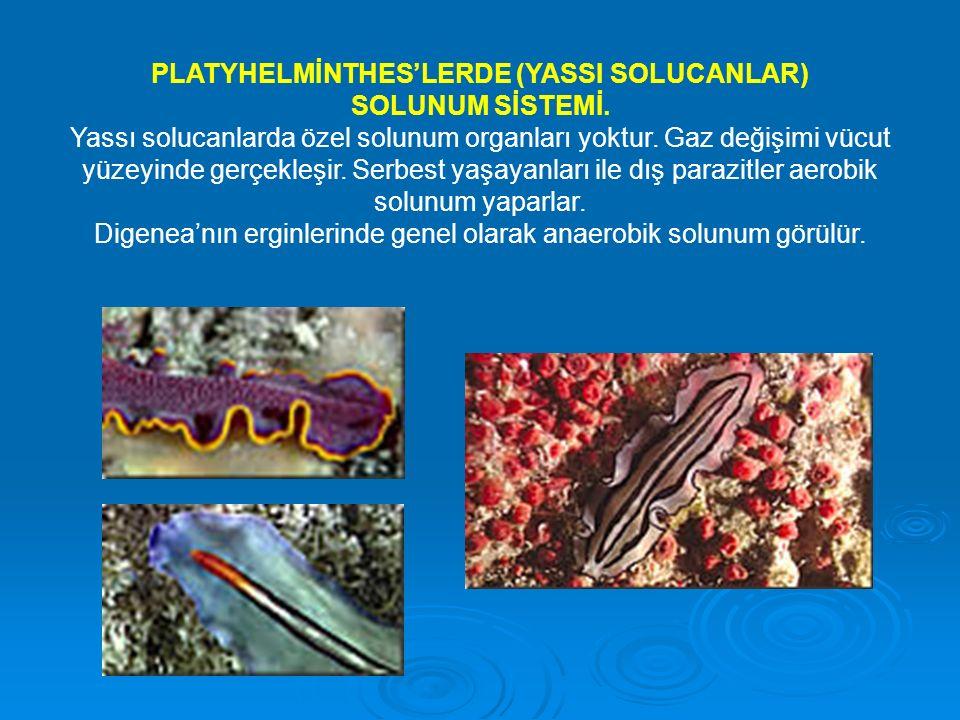 PLATYHELMİNTHES'LERDE (YASSI SOLUCANLAR) SOLUNUM SİSTEMİ.