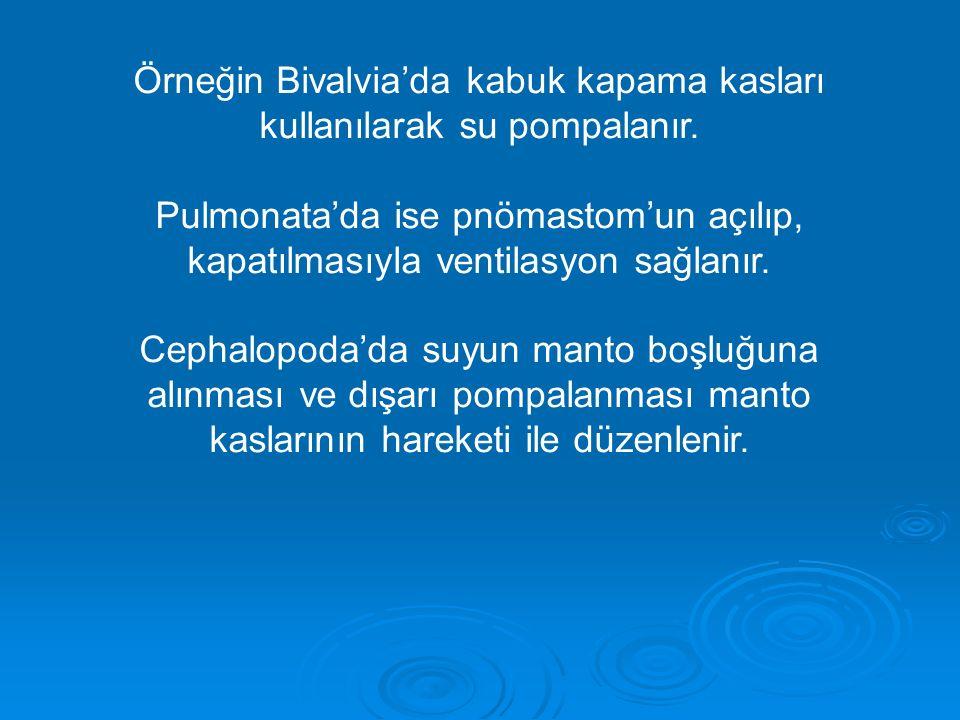 Örneğin Bivalvia'da kabuk kapama kasları kullanılarak su pompalanır. Pulmonata'da ise pnömastom'un açılıp, kapatılmasıyla ventilasyon sağlanır. Cephal