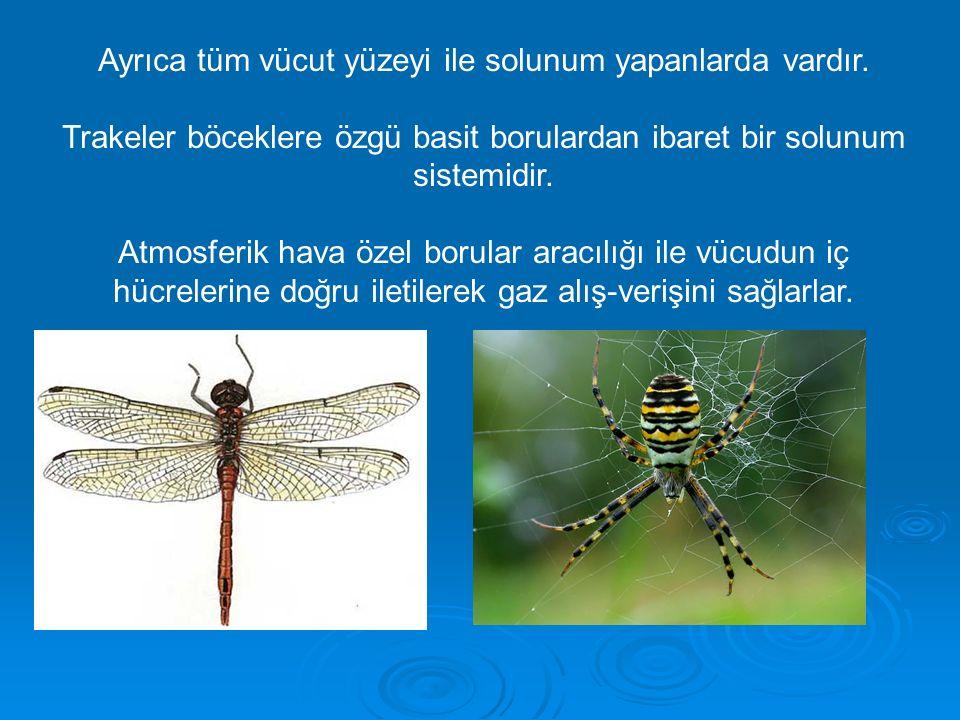 Ayrıca tüm vücut yüzeyi ile solunum yapanlarda vardır. Trakeler böceklere özgü basit borulardan ibaret bir solunum sistemidir. Atmosferik hava özel bo