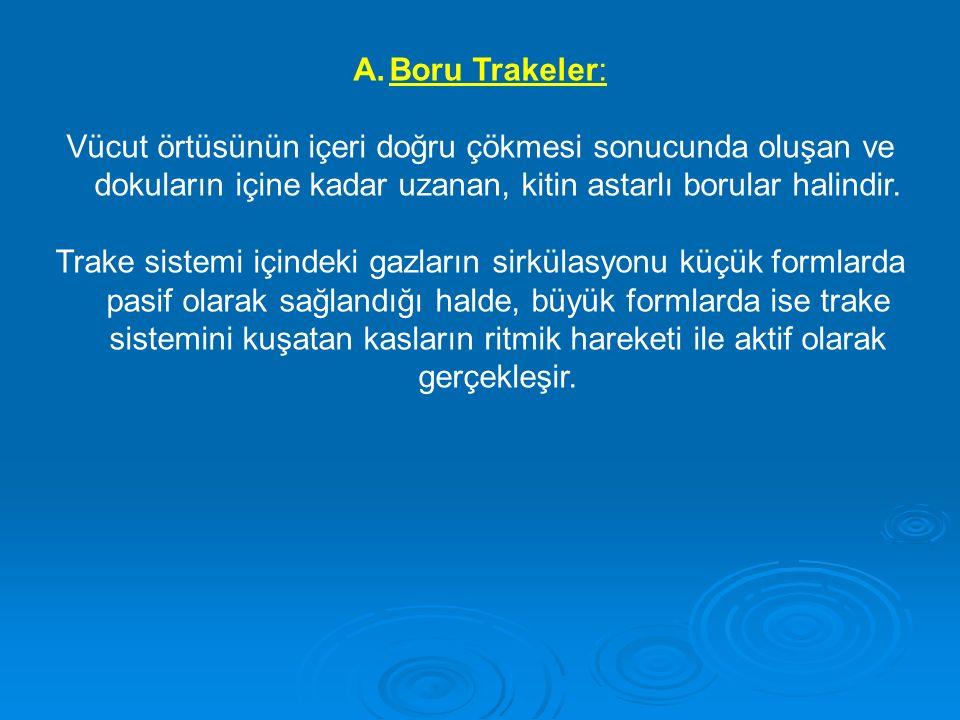A.Boru Trakeler: Vücut örtüsünün içeri doğru çökmesi sonucunda oluşan ve dokuların içine kadar uzanan, kitin astarlı borular halindir. Trake sistemi i