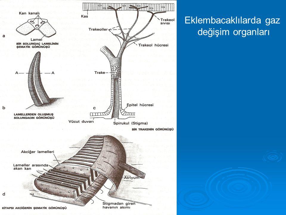 Eklembacaklılarda gaz değişim organları