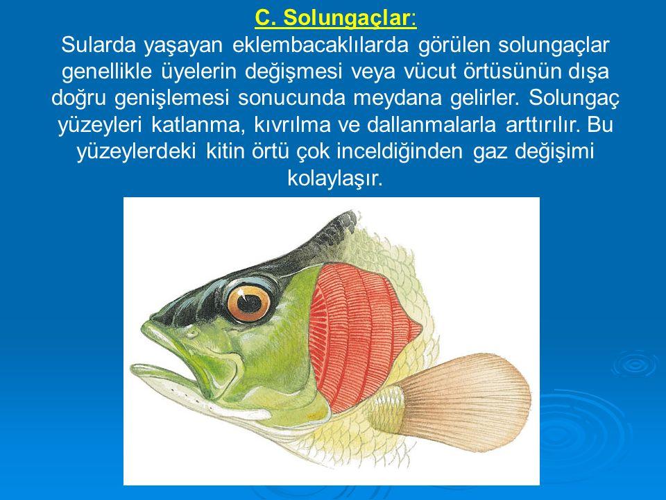 C. Solungaçlar: Sularda yaşayan eklembacaklılarda görülen solungaçlar genellikle üyelerin değişmesi veya vücut örtüsünün dışa doğru genişlemesi sonucu