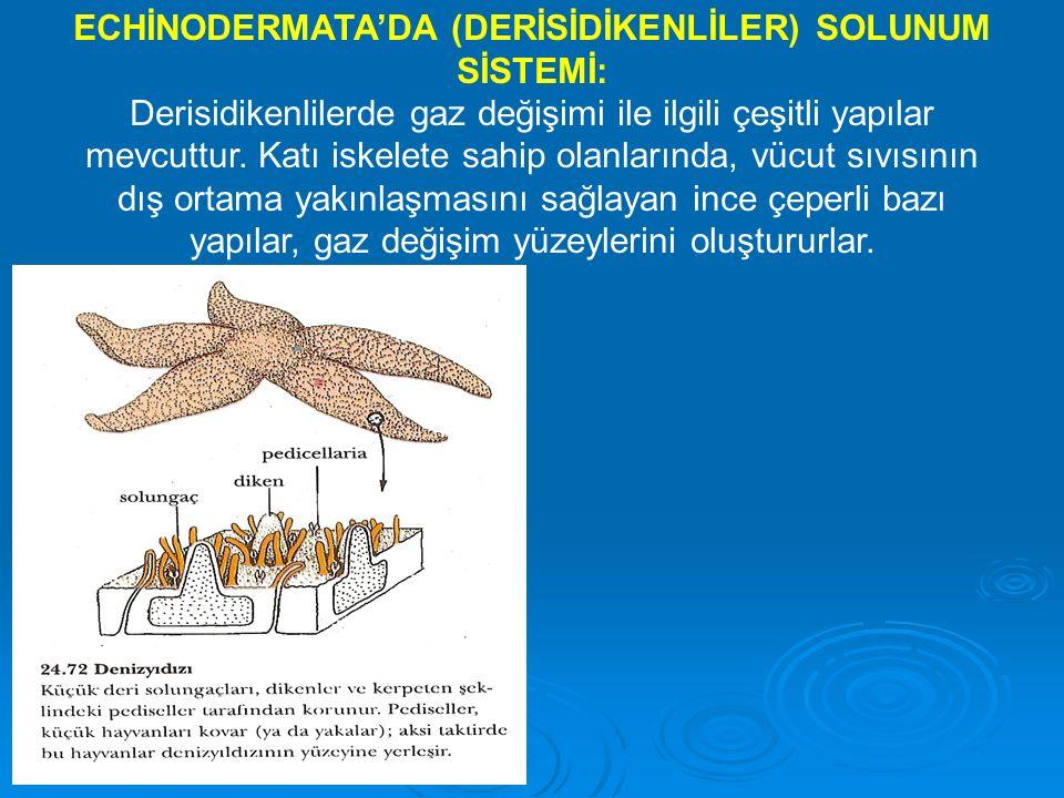 ECHİNODERMATA'DA (DERİSİDİKENLİLER) SOLUNUM SİSTEMİ: Derisidikenlilerde gaz değişimi ile ilgili çeşitli yapılar mevcuttur.