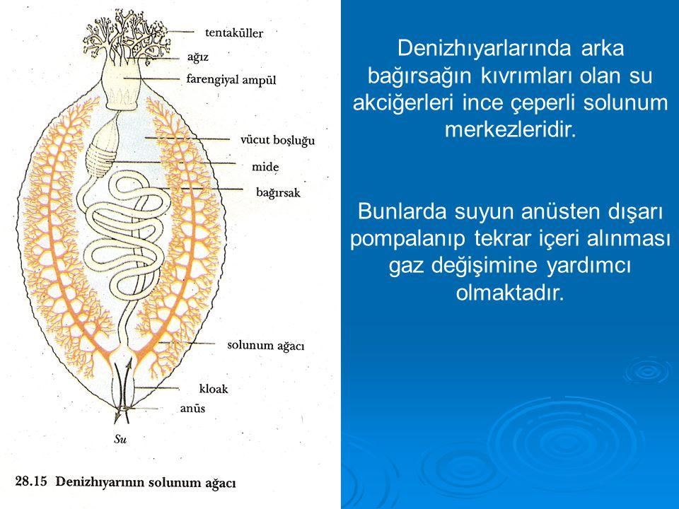 Denizhıyarlarında arka bağırsağın kıvrımları olan su akciğerleri ince çeperli solunum merkezleridir.