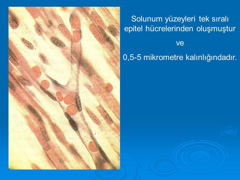 Solunum yüzeyleri tek sıralı epitel hücrelerinden oluşmuştur ve 0,5-5 mikrometre kalınlığındadır.