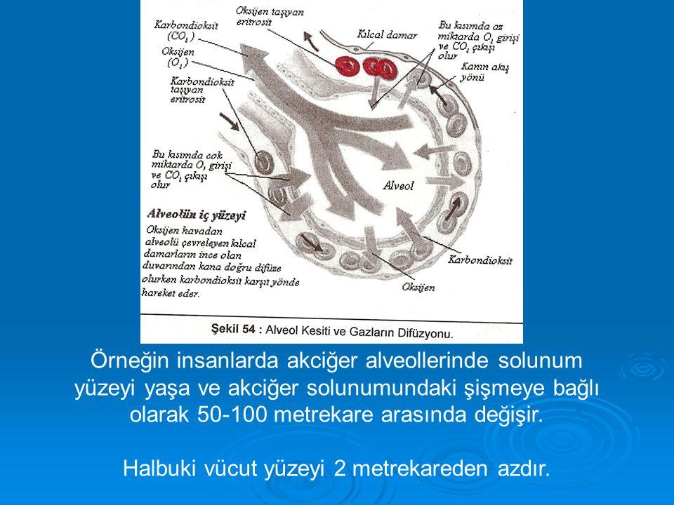 Örneğin insanlarda akciğer alveollerinde solunum yüzeyi yaşa ve akciğer solunumundaki şişmeye bağlı olarak 50-100 metrekare arasında değişir.