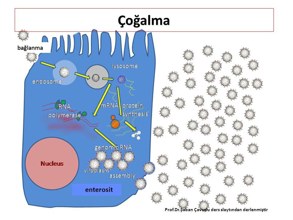 RNA'dan RNA kopyalayan Polimeraz çiRNA