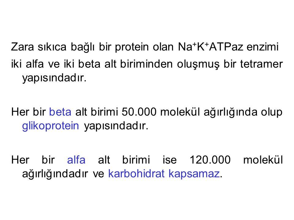 Zara sıkıca bağlı bir protein olan Na + K + ATPaz enzimi iki alfa ve iki beta alt biriminden oluşmuş bir tetramer yapısındadır. Her bir beta alt birim