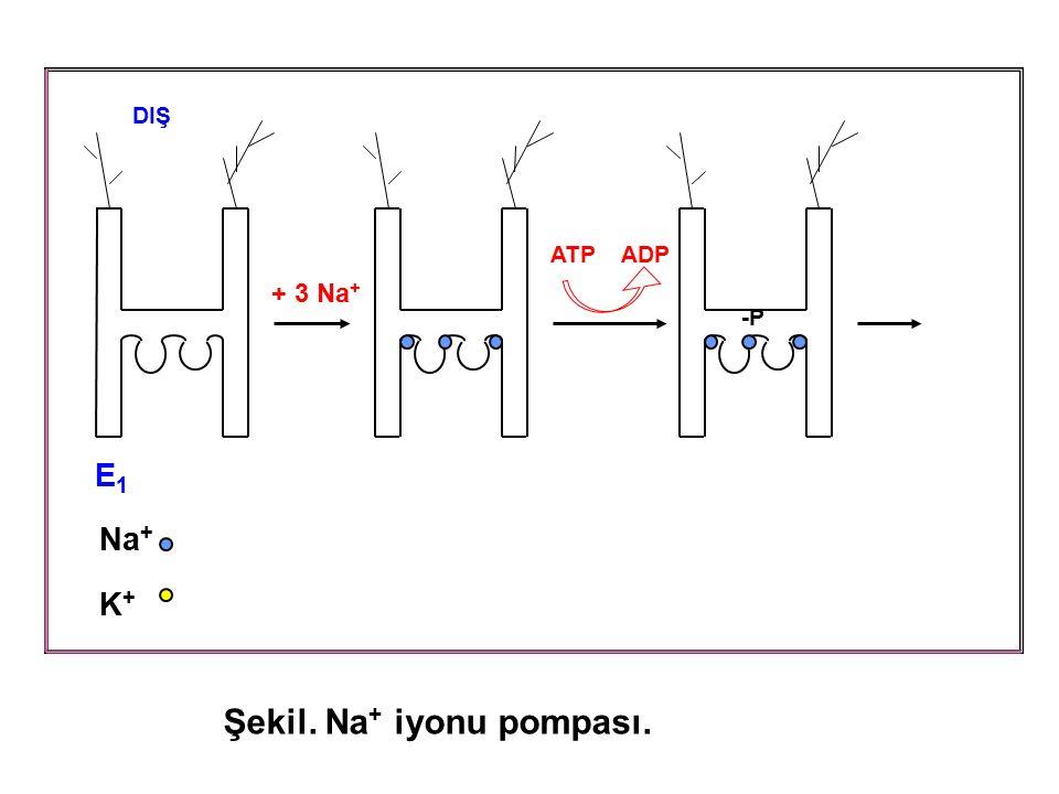 ATP ADP + 3 Na + DIŞ E1E1 Na + K + -P Şekil. Na + iyonu pompası.