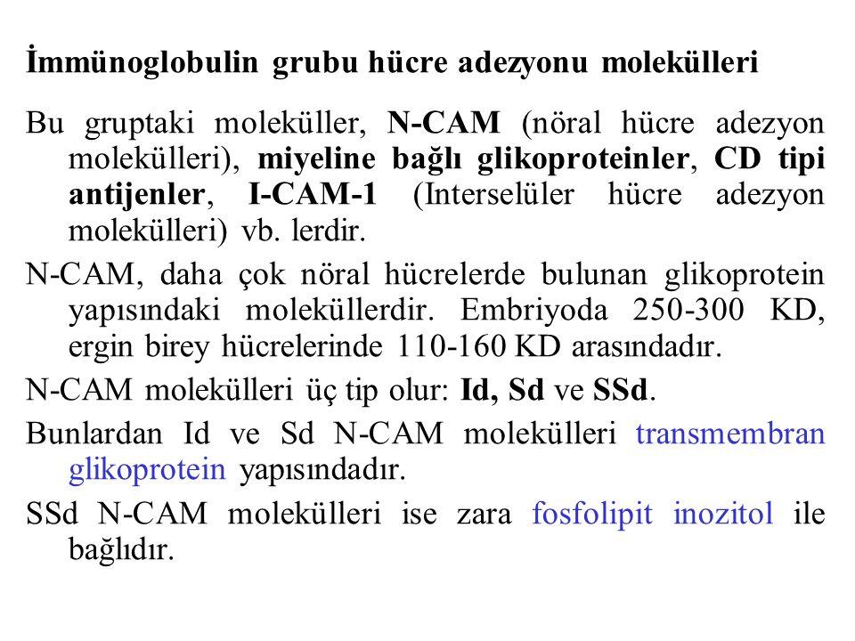 İmmünoglobulin grubu hücre adezyonu molekülleri Bu gruptaki moleküller, N-CAM (nöral hücre adezyon molekülleri), miyeline bağlı glikoproteinler, CD ti