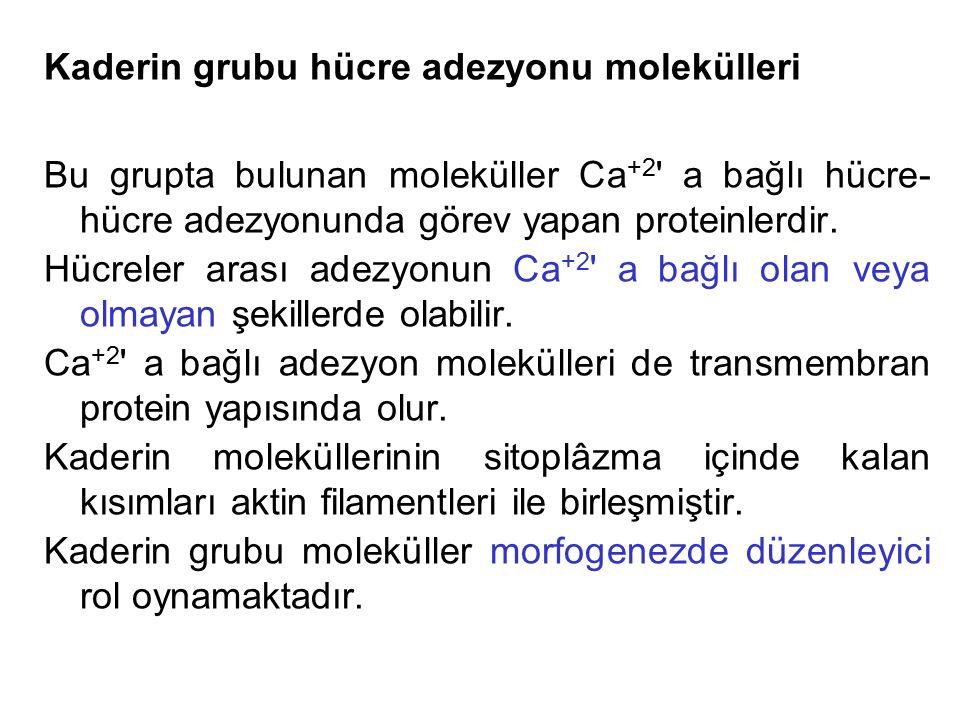 Kaderin grubu hücre adezyonu molekülleri Bu grupta bulunan moleküller Ca +2 ' a bağlı hücre- hücre adezyonunda görev yapan proteinlerdir. Hücreler ara