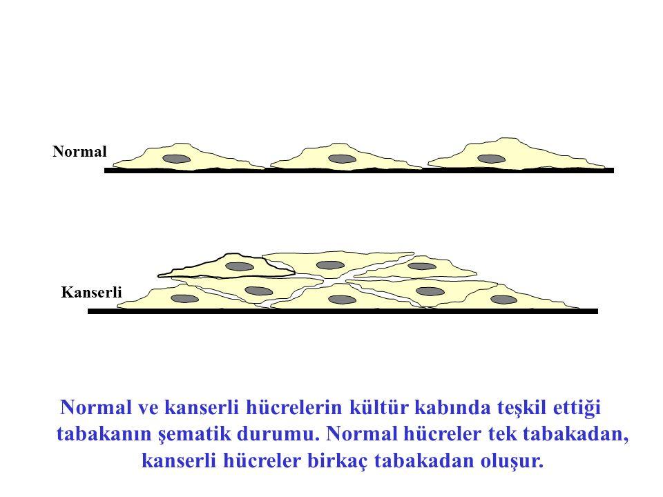 Normal Kanserli Normal ve kanserli hücrelerin kültür kabında teşkil ettiği tabakanın şematik durumu. Normal hücreler tek tabakadan, kanserli hücreler