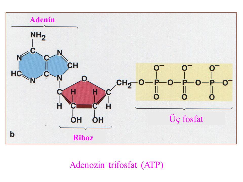 Adenozin trifosfat (ATP) Riboz Üç fosfat Adenin