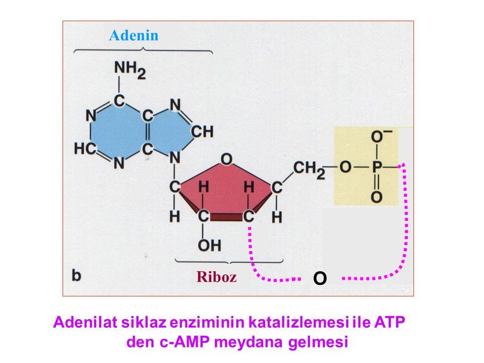 O Riboz Adenin Adenilat siklaz enziminin katalizlemesi ile ATP den c-AMP meydana gelmesi
