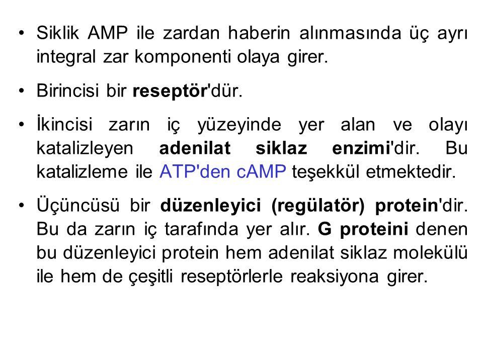 Siklik AMP ile zardan haberin alınmasında üç ayrı integral zar komponenti olaya girer. Birincisi bir reseptör'dür. İkincisi zarın iç yüzeyinde yer ala