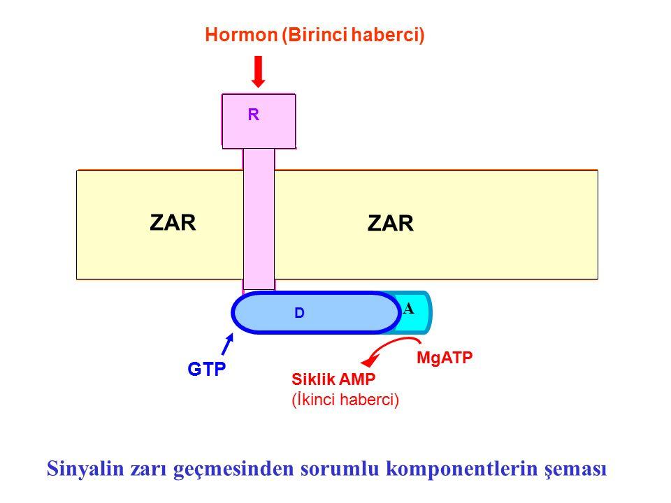 A D ZAR R GTP MgATP Siklik AMP (İkinci haberci) Sinyalin zarı geçmesinden sorumlu komponentlerin şeması Hormon (Birinci haberci)