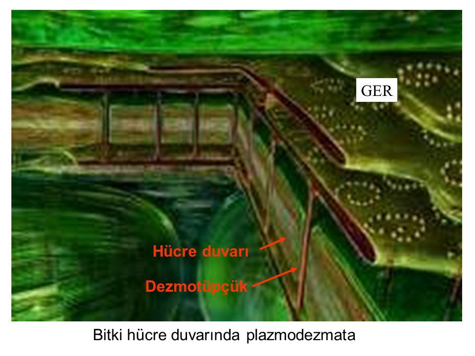 GER Dezmotüpçük Bitki hücre duvarında plazmodezmata Hücre duvarı