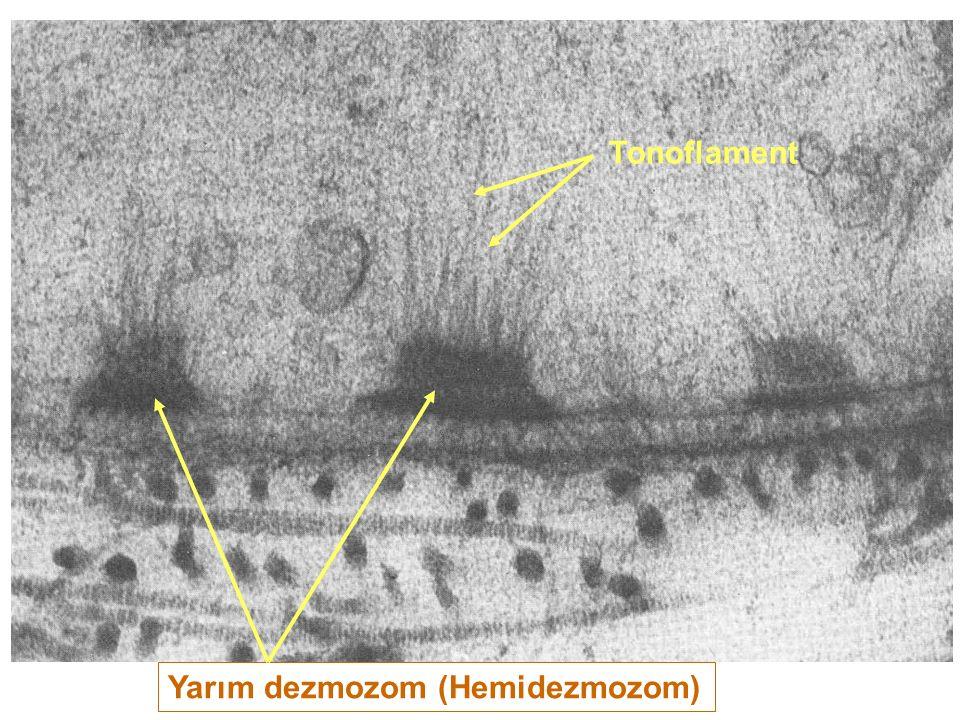 Yarım dezmozom (Hemidezmozom) Tonoflament