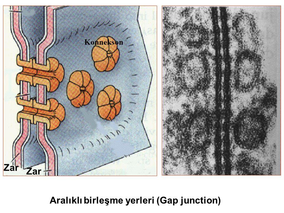 Aralıklı birleşme yerleri (Gap junction) Zar Konnekson