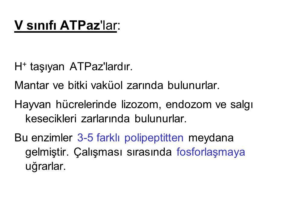 V sınıfı ATPaz'lar: H + taşıyan ATPaz'lardır. Mantar ve bitki vaküol zarında bulunurlar. Hayvan hücrelerinde lizozom, endozom ve salgı kesecikleri zar