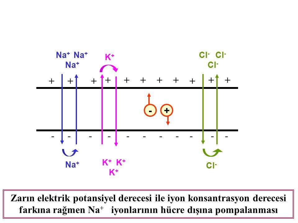 -+ ++ +++++ + ++ + ----------- Na + K + Na + K+K+ Cl - Cl - Cl - Zarın elektrik potansiyel derecesi ile iyon konsantrasyon derecesi farkına rağmen Na