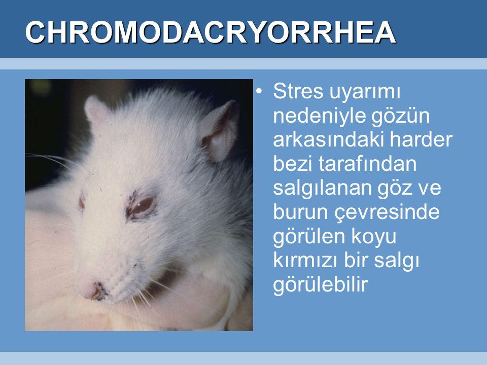 CHROMODACRYORRHEA Stres uyarımı nedeniyle gözün arkasındaki harder bezi tarafından salgılanan göz ve burun çevresinde görülen koyu kırmızı bir salgı görülebilir