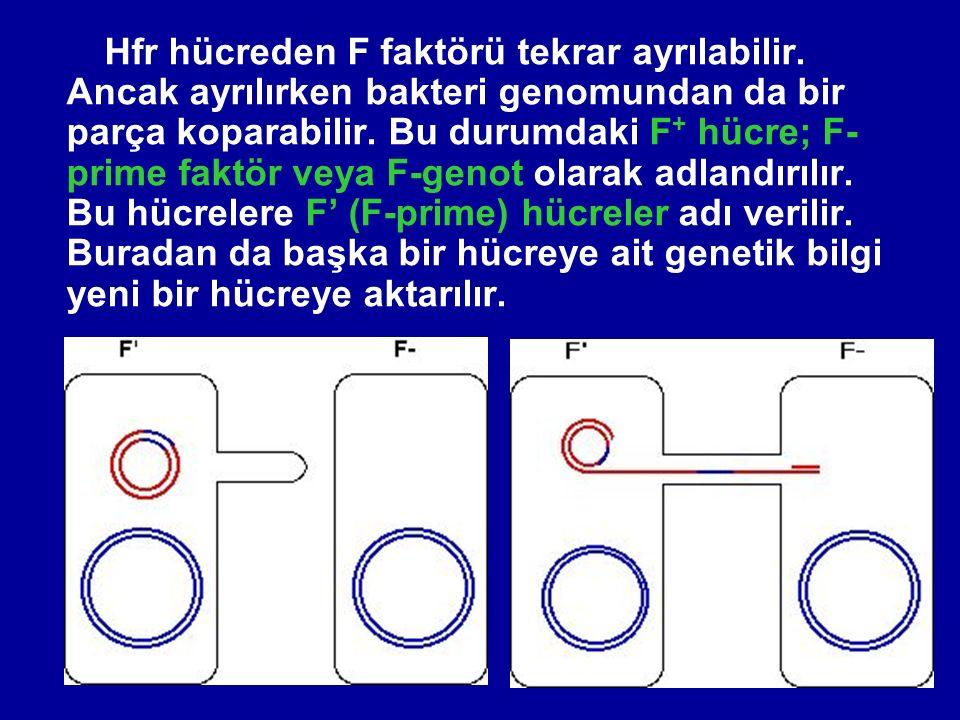 Hfr hücreden F faktörü tekrar ayrılabilir.