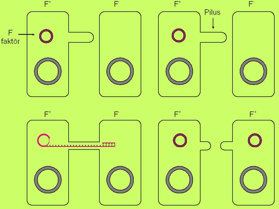 Bir bakteriden diğerine geçen DNA parçası (F faktörü = Plazmit) bakteri DNA sına entegre olabilir.