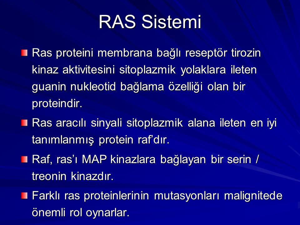 RAS Sistemi Ras proteini membrana bağlı reseptör tirozin kinaz aktivitesini sitoplazmik yolaklara ileten guanin nukleotid bağlama özelliği olan bir pr