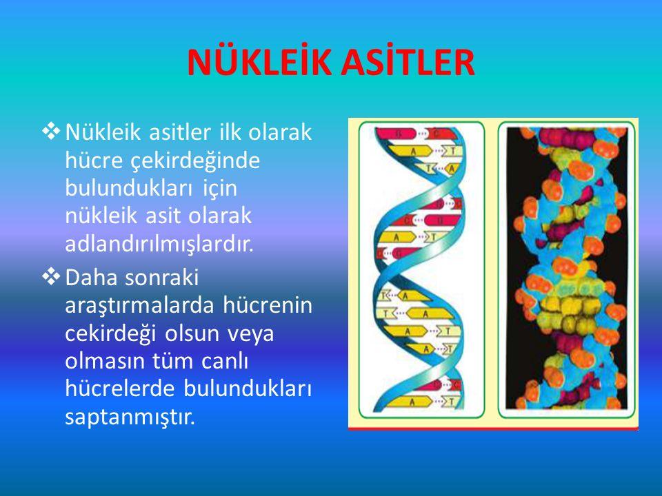 NÜKLEİK ASİTLER  Nükleik asitler ilk olarak hücre çekirdeğinde bulundukları için nükleik asit olarak adlandırılmışlardır.  Daha sonraki araştırmalar