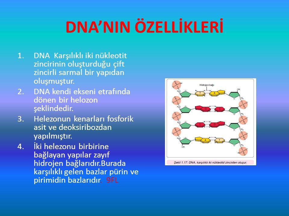 DNA'NIN ÖZELLİKLERİ 1.DNA Karşılıklı iki nükleotit zincirinin oluşturduğu çift zincirli sarmal bir yapıdan oluşmuştur. 2.DNA kendi ekseni etrafında dö