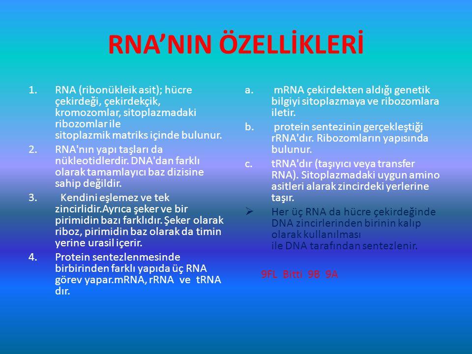 RNA'NIN ÖZELLİKLERİ 1.RNA (ribonükleik asit); hücre çekirdeği, çekirdekçik, kromozomlar, sitoplazmadaki ribozomlar ile sitoplazmik matriks içinde bulu